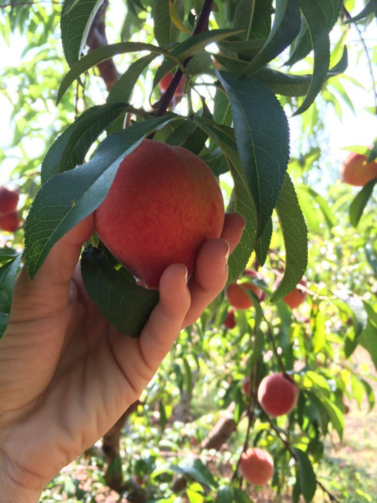 Southern Belle Farms: peach picking