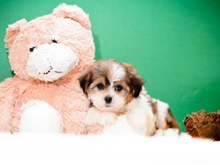 Miss Perfect Is Our Havanese Puppy Havanese Puppies Havanese