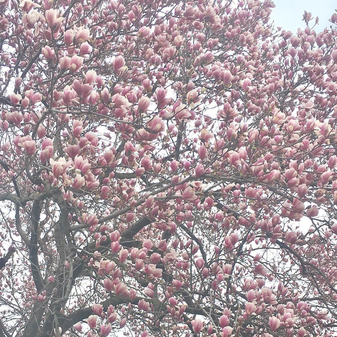Tiash On Instagram The Cherryblossoms Are Here Cherryblossom Nature Tree Pink Flowers Flowerstagram Cherrybloosomtree Instagram Cherry Blossom Tree