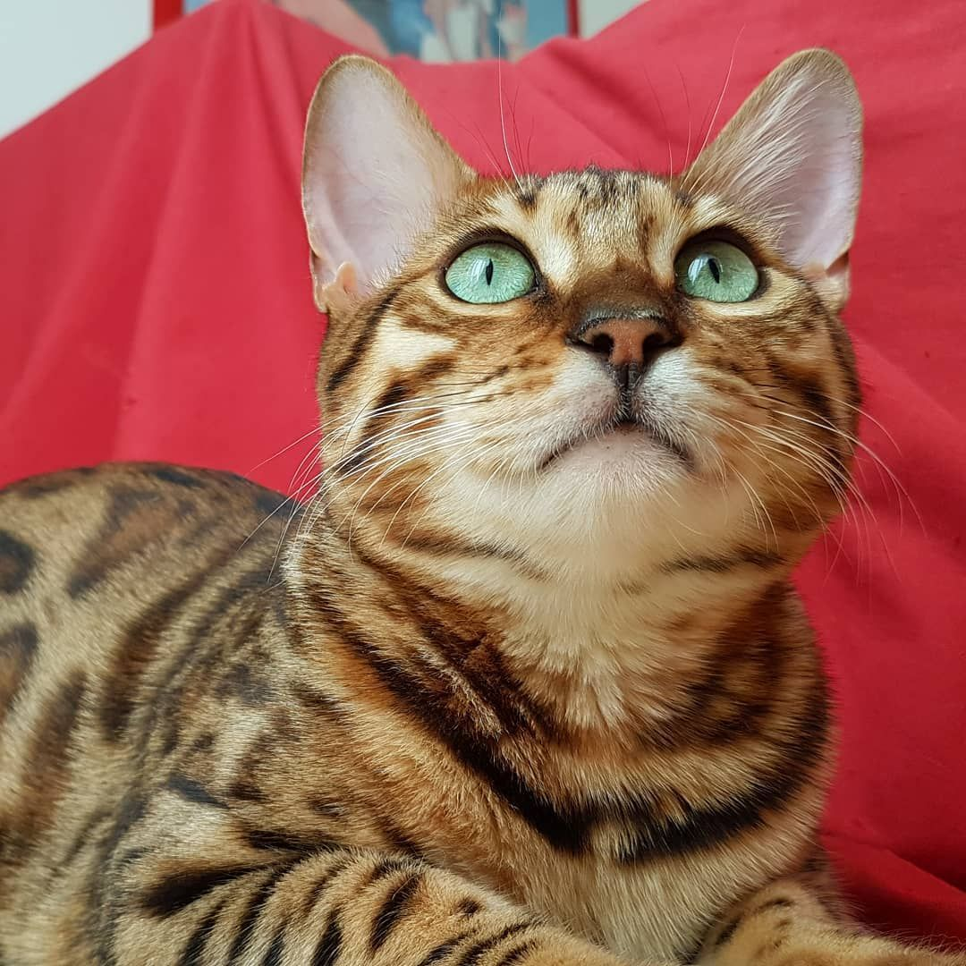 Good No Cost Bengal Cats Big Style Initial When It Concerns What Exactly Is Really A Bengal Cat Bengal Kitties Can Be A Pedi In 2020 Bengal Cat Bengal Kitten Cat Day