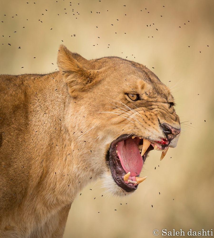 صورة اللبوة من محميه سيرينجيتي في تنزانيا للمصور صالح دشتي Http Www Ph Wall Com Photo Php Id 250 حائط صورة صور تصوير حيوانات Animals Lion Wall