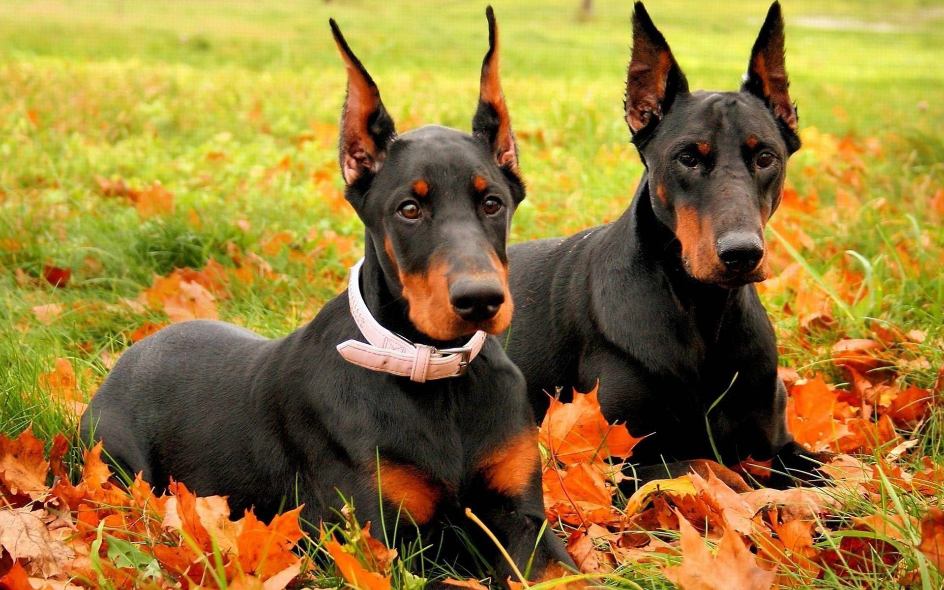 Couple Penguin Wallpaper 15029 Wallpaper Doberman Dogs Doberman Pinscher Dog Breeds