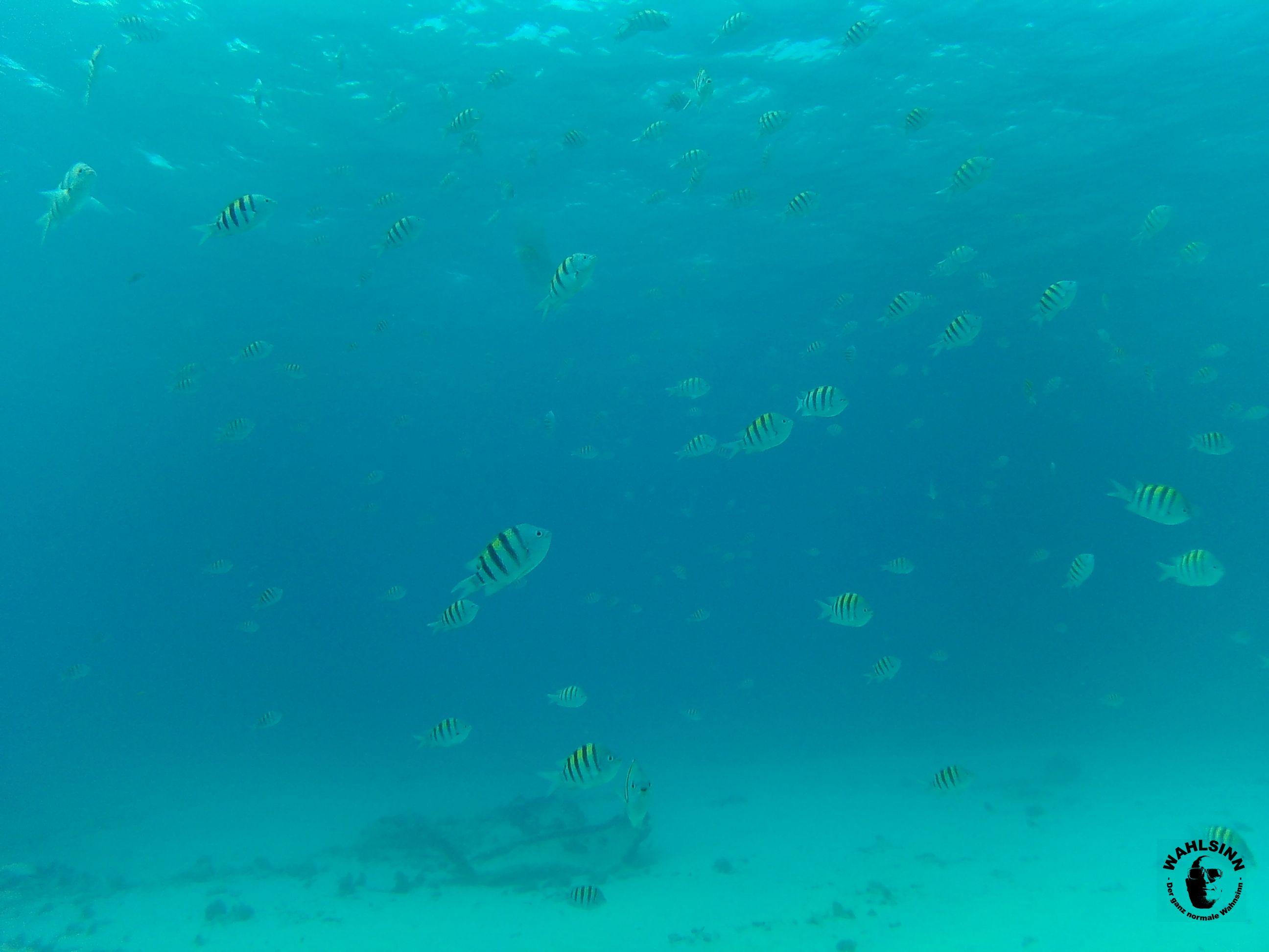 Aruba - Fischis! Diese nett aussehenden Fische haben es Faustdick hinter den Ohren. Beissen die einfach in meine Flossen rein, gemeine Biester!
