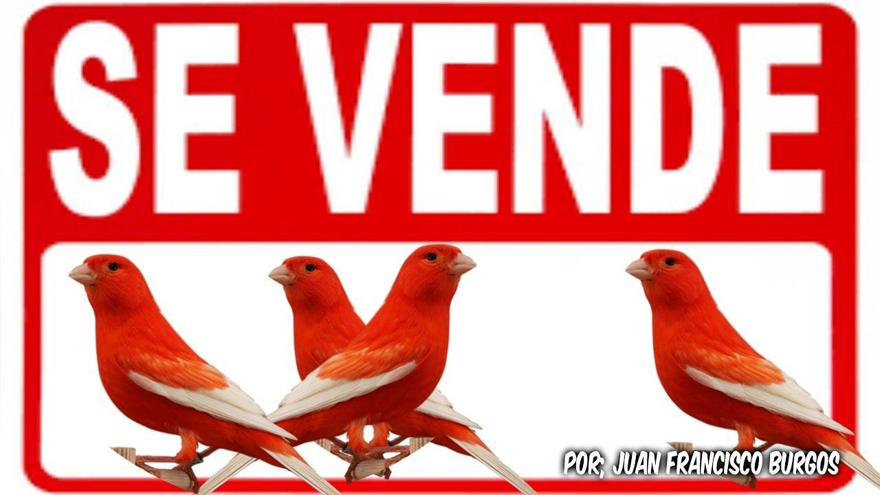 Venta De Canarios Rojos Alas Blancas Vendidos Youtube Canarios Rojos Canarios Periquitos