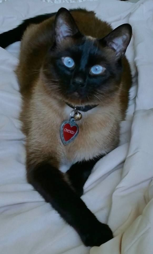Meet Chenzo These Beautiful Blue Eyes Greet Me Every Morning Love This Sweet Kitty An Applehead Siamese Ca Siamese Cats Blue Point Beautiful Cats Cat Lovers