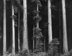 Redwoods -  Ansel Adams