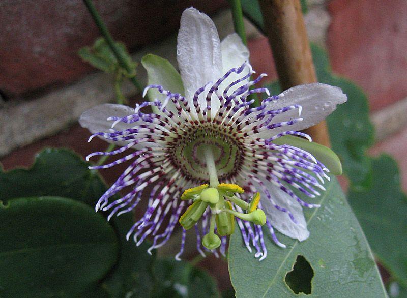 Passiflora Elegans 4 Pot Passion Flower Flowers Amazing Flowers