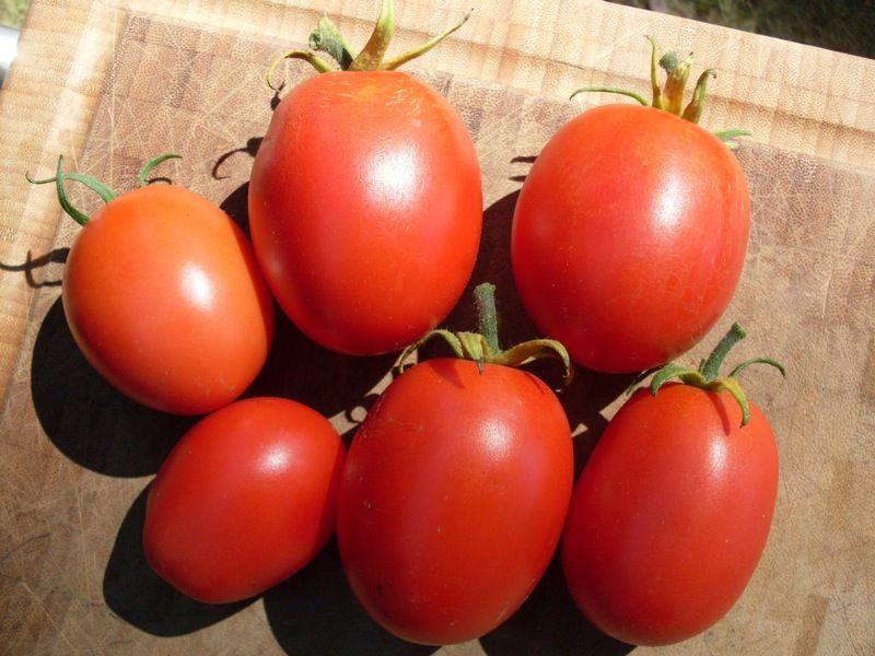 Tomato quadro organic plum blight resistant tomatoes
