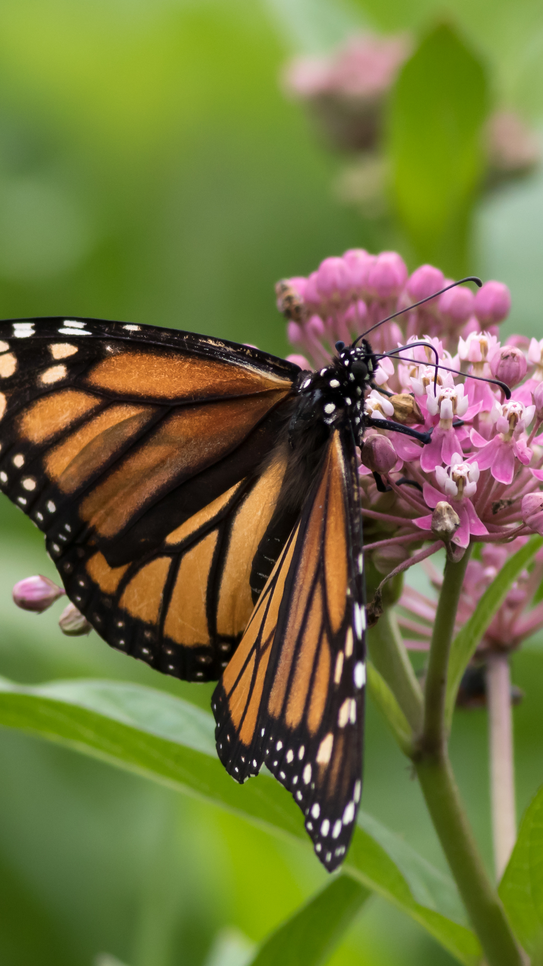 Help Save The Monarch