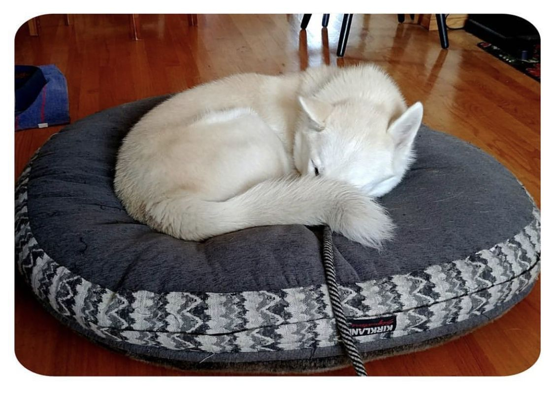 Fabulous Pin By Kay Sy On White German Shepard Husky Bean Bag Chair Creativecarmelina Interior Chair Design Creativecarmelinacom