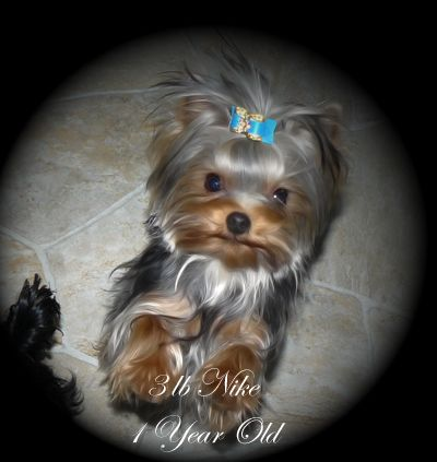 Yorkie Puppies For Sale B C Canada Teacup Yorkies For Sale Yorkshire Terrier Yorkie Puppy Yorkshire Terrier Puppies