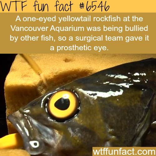 One eyed fish gets a prosthetic eye faith in humanity for One eyed fish