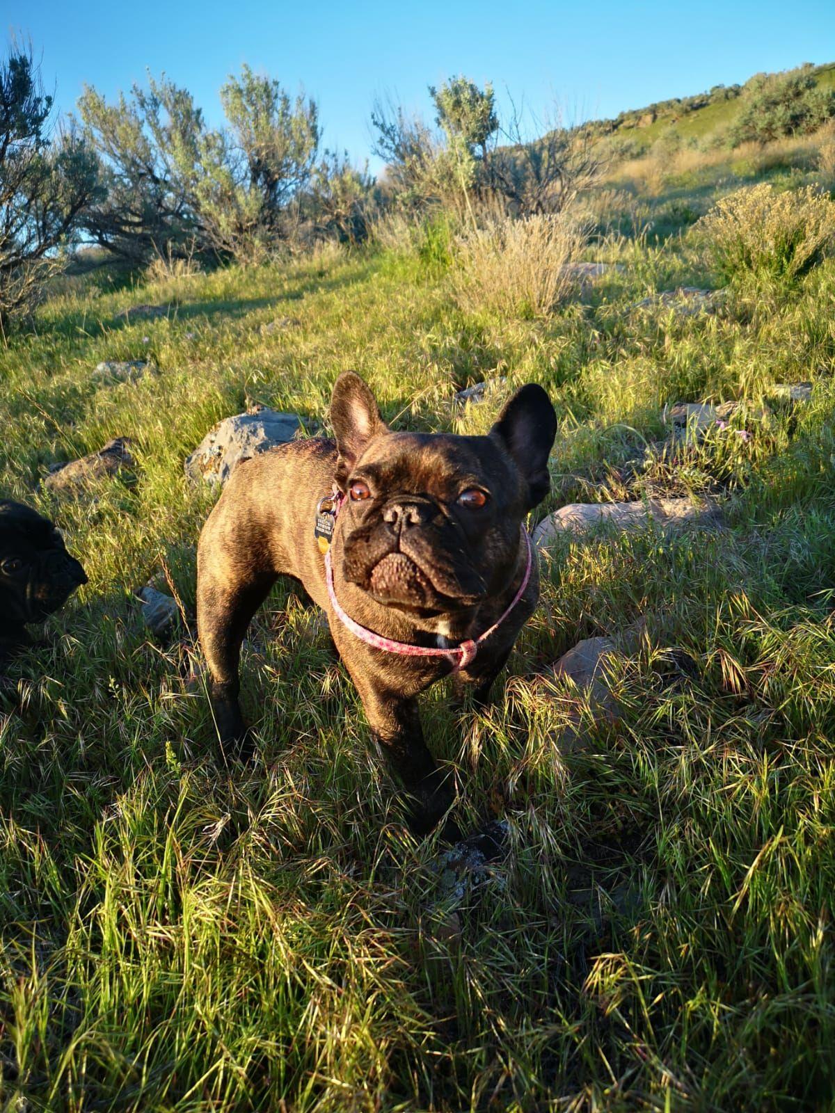 Frenchbulldog Dogs Utah Puppies Instagram Utah Frenchies