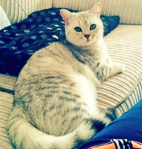 REUNITED silver spotted British Shorthair Cat, Hythe