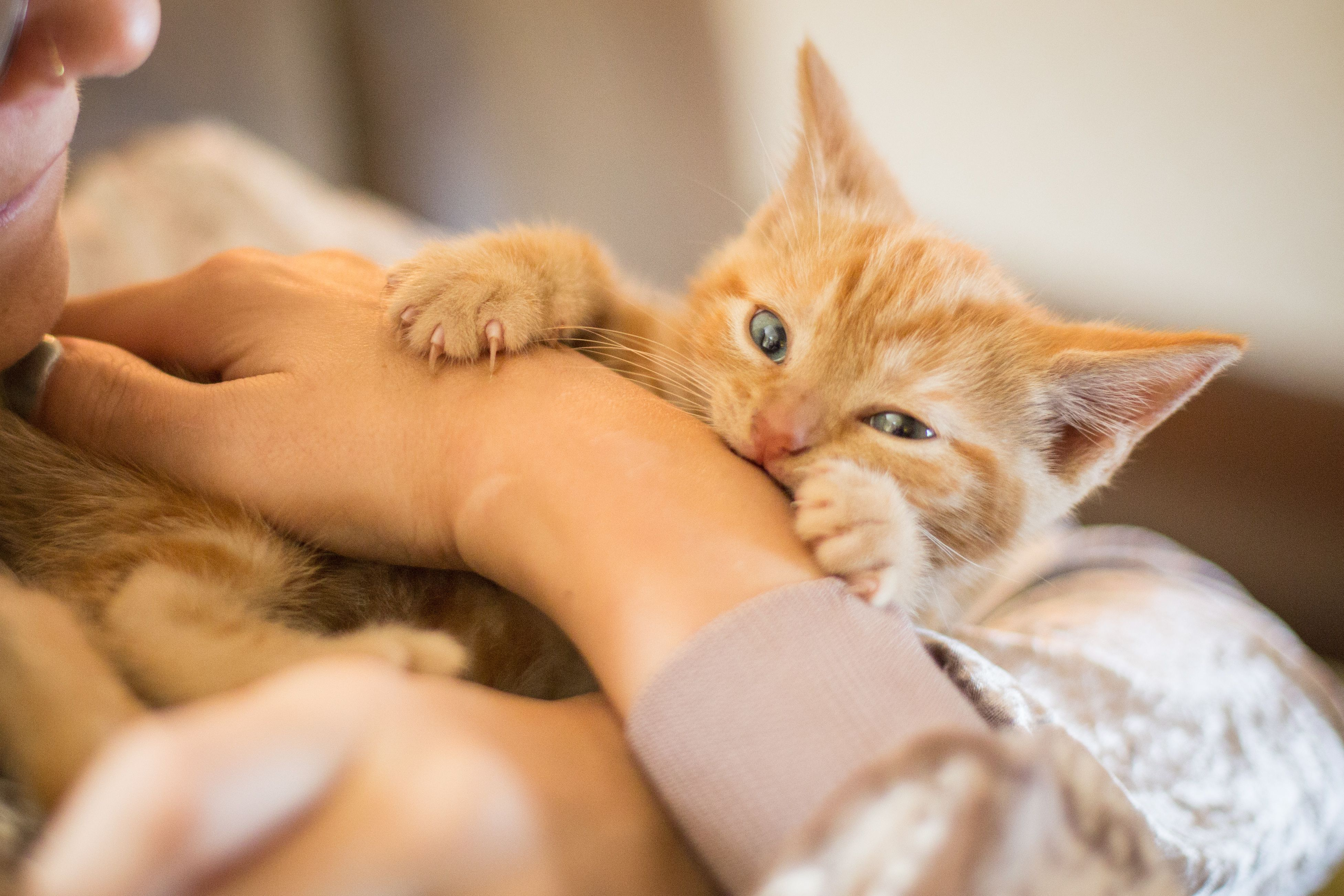 Aggressive Kittens Can Be A Problem But Scratching And Biting In Kittens Can Be Controlled With Training And Patience Cat Biting Kitten Biting Kittens