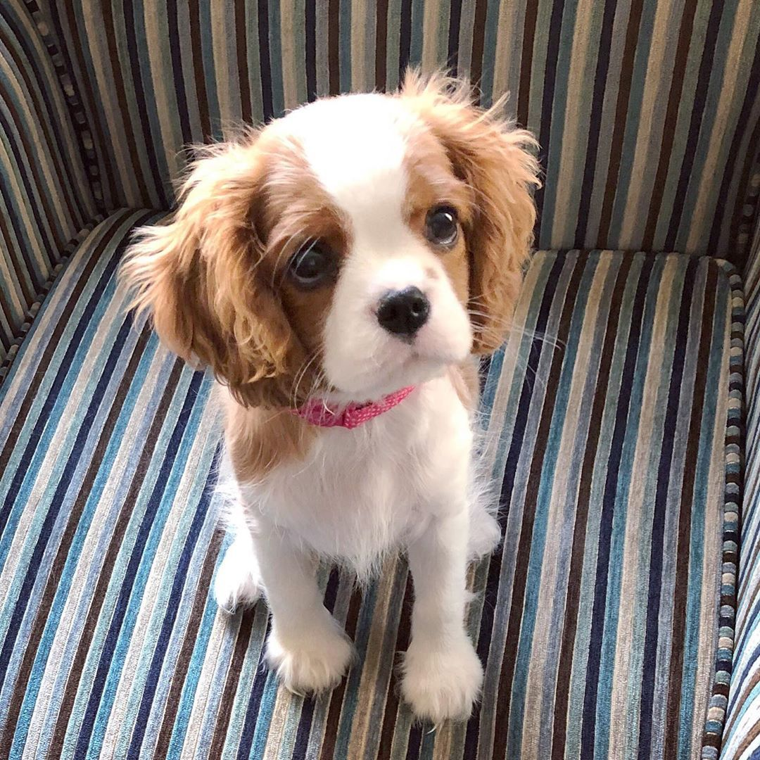 Throwback To When I Was About 13 Weeks Old And Often Wore This Slightly Guilty Yet Defiant Cavalier King Charles Dog King Charles Dog Cavalier King Charles