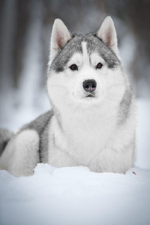 Siberian Husky By Tanya Kozlovsky Siberian Husky Husky Dogs