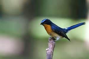 Hill Blue Flycatcher Cyornis Banyumas Male Tledekan Gunung Hill Blue Burung Hewan Burung Cantik