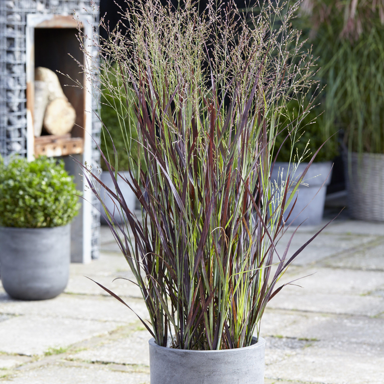 Panicum virgatum Purple Breeze ('Joz276') (PBR) Trees to