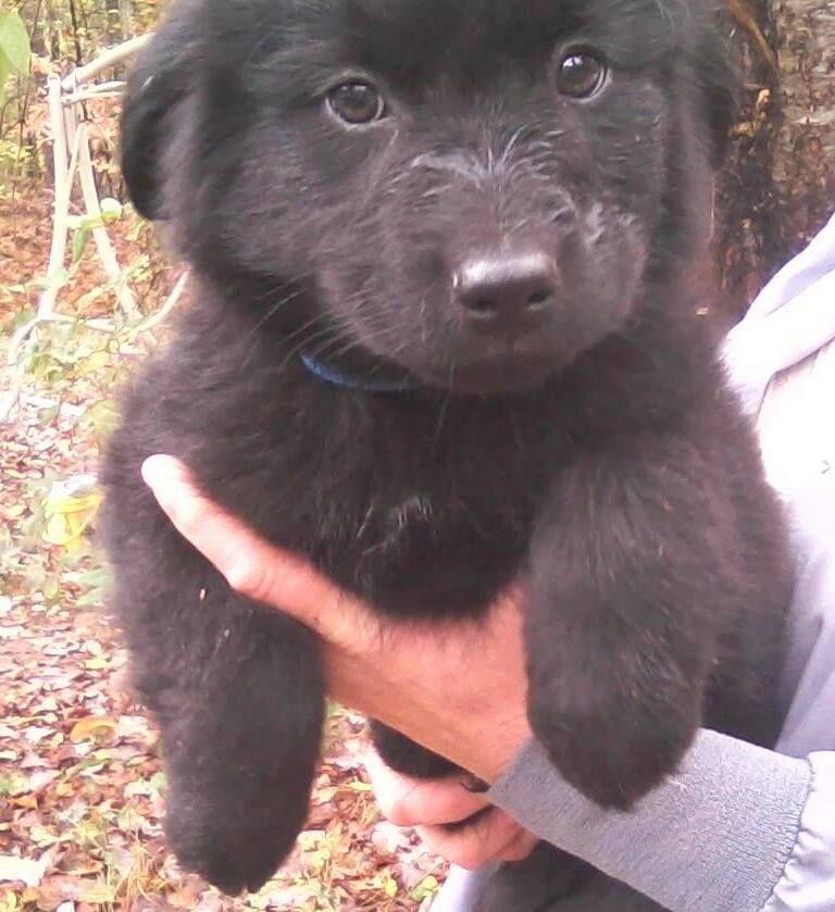 Adopt cash on petfinder husky mix labrador mix
