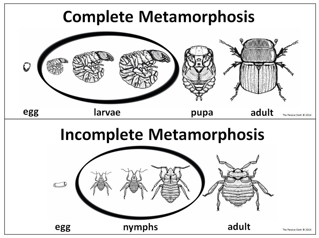 5th grade insect life cycles complete incomplete metamorphosis