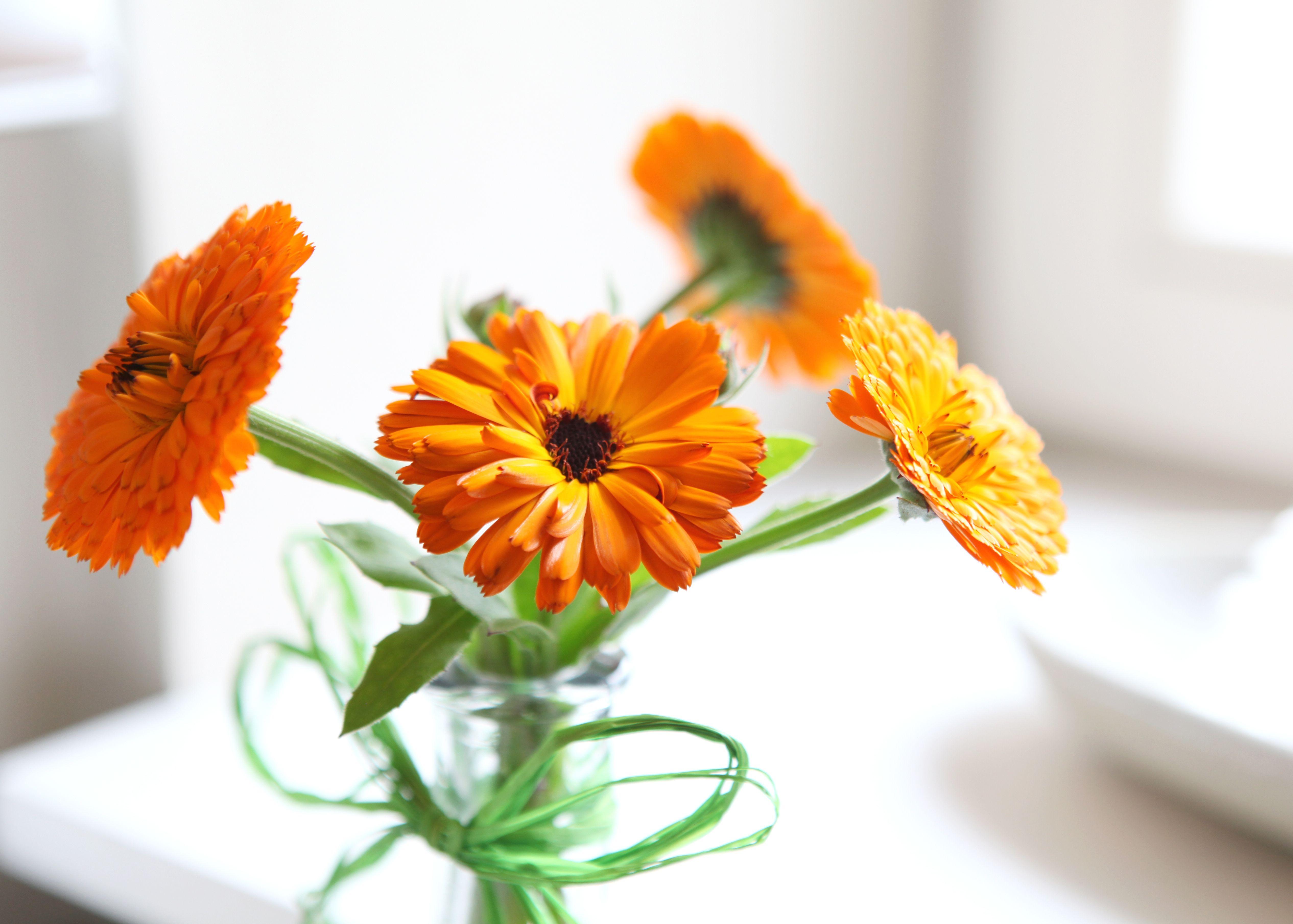 Antiinflammatory beauty benefits of calendula Calendula