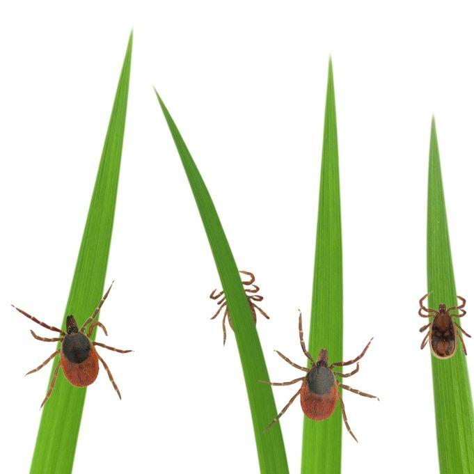 How To Use Cedar Oil To Kill Ticks Naturally Natural Tick