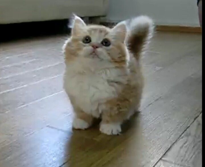 Munchkin Kitten I Have To Get One Animalitos Pinterest Munchkin Kitten Munchkin Cat Y Cats