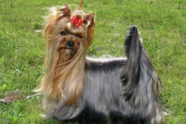 Silky Terrier Australiano Pelaje Silky Terrier Terrier Australiano Terrier