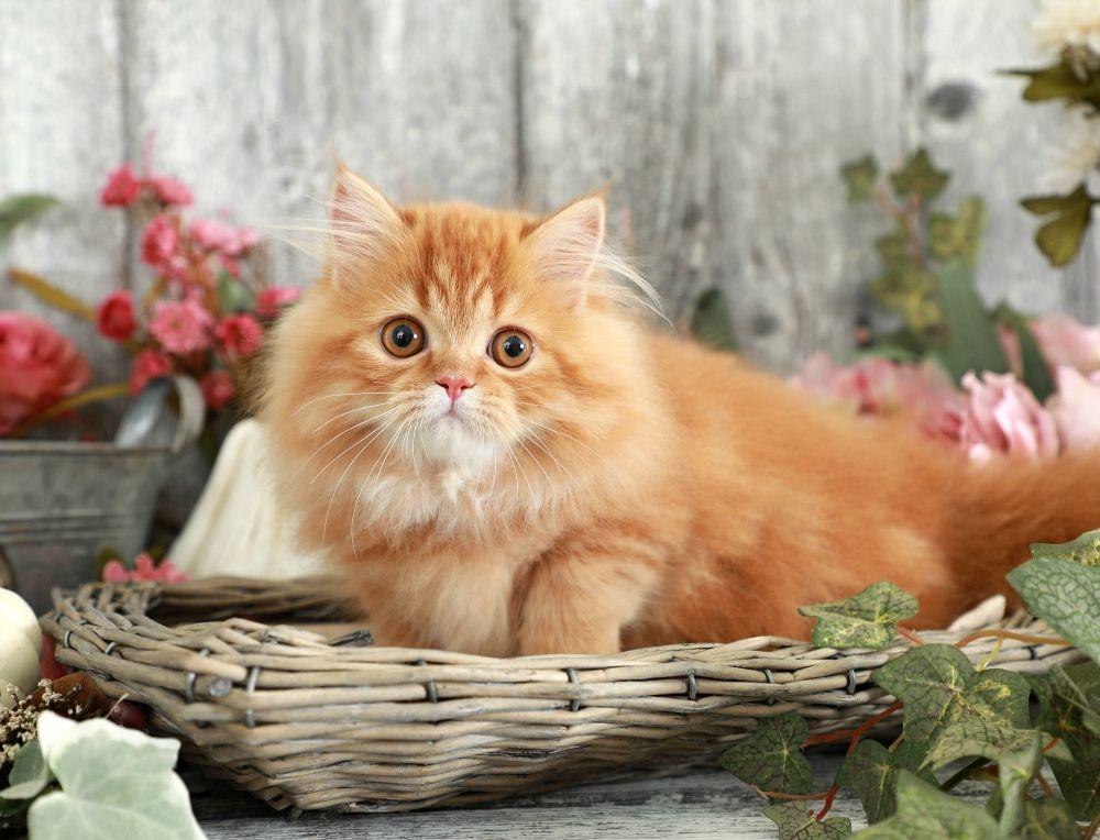 Cat Red Persian Rug Hugger Kitten