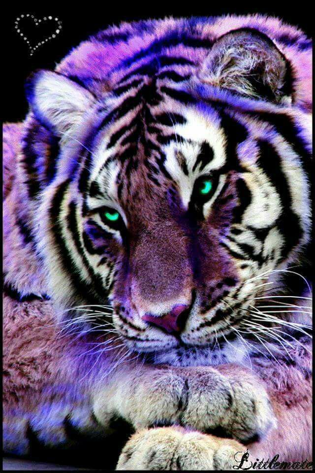 Big cats art image by tina ford on White tiger Tiger