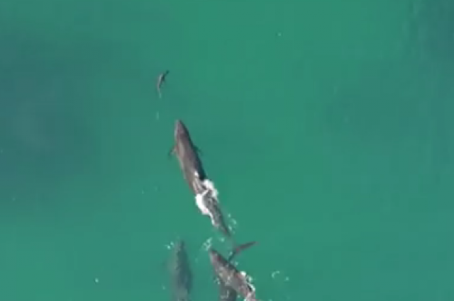 Rare Drone Footage Captures Whales Hunting Down And Grabbing A Shark