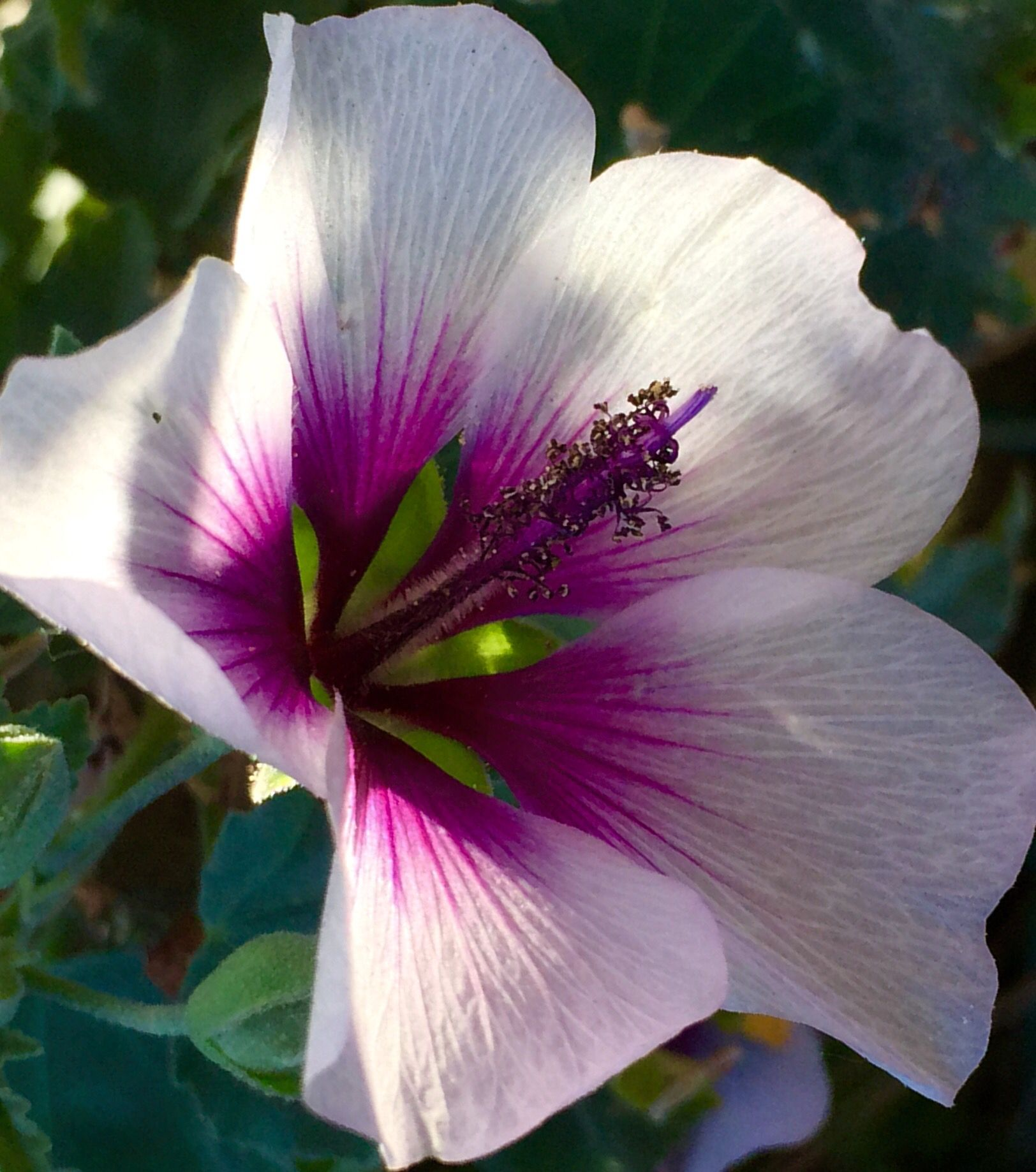 Tree Mallow Lavatera Bicolor Evergreen Bush With Hibiscus Like