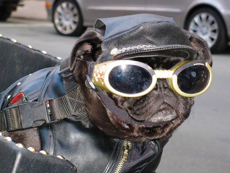 I Have Seen A Ton Of Dogs On Motorcycles Here Is A Sampling Of