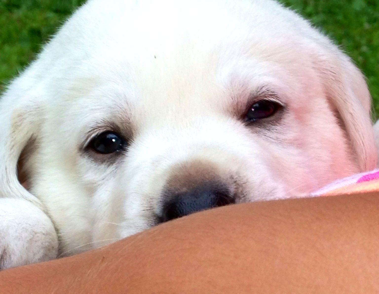 Bud..our white English Labrador Labrador, Labrador