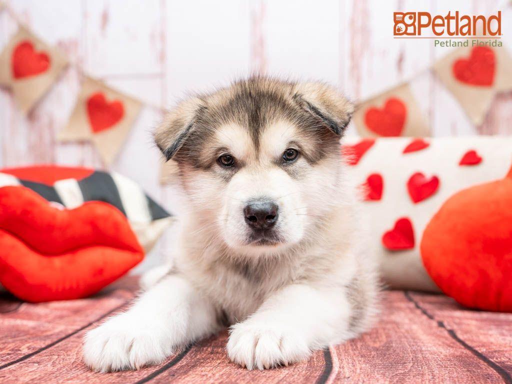 Puppies For Sale Malamute Puppies Alaskan Malamute Puppies Dog