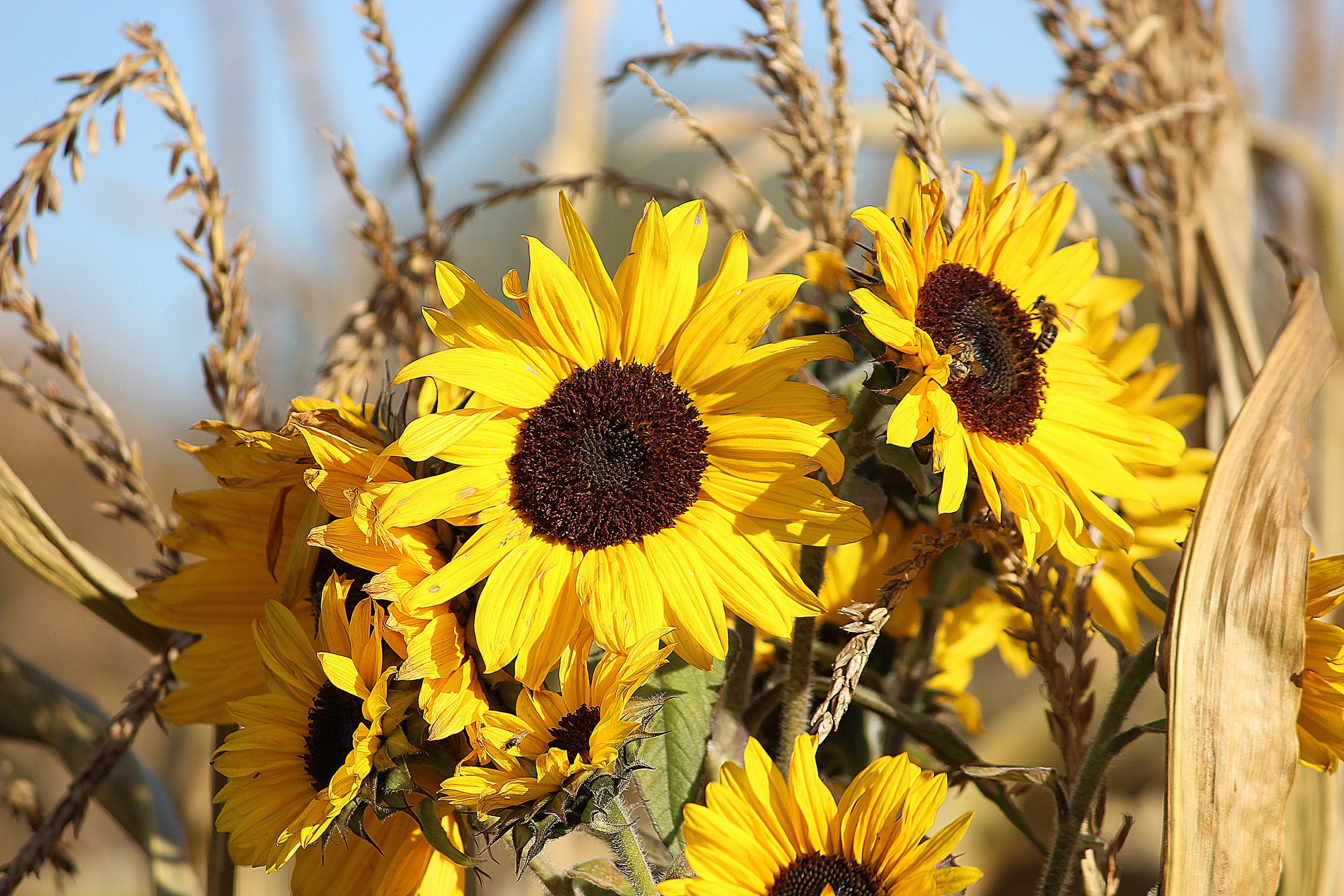 #Sonnenblume #Biene
