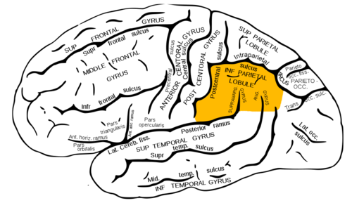 Inferior Parietal Lobe Ipl Task Positive Brain Academics