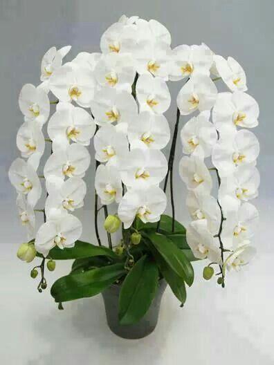 Beautiful White Orchids Plants Pot Pinterest Orchids