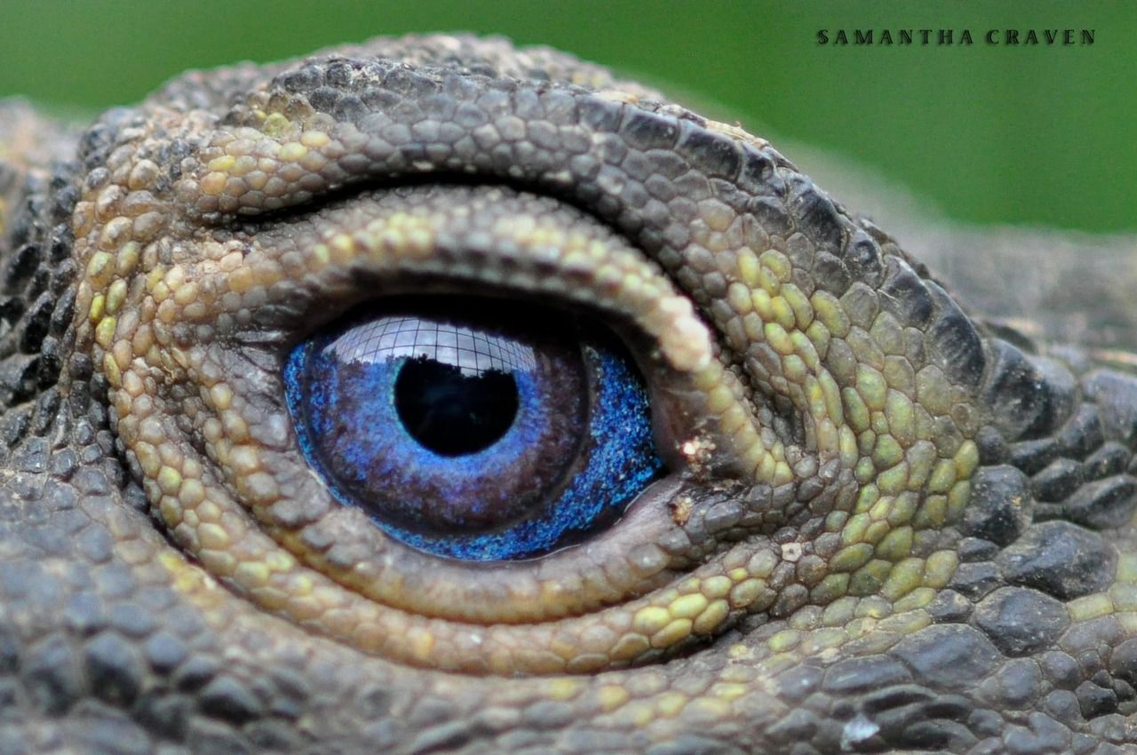 Sailfin Iguana Hydrosaurus Spp These Relatively Large Lizards Are Named After The Sail