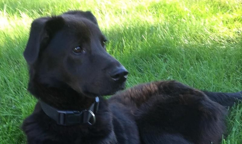 Adopt Cooper On Dog Adoption Labrador Retriever Dog Retriever Dog