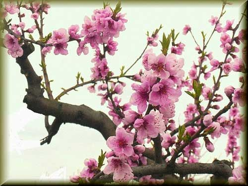 Peach Blossom PlantAn Immortal Tree In The Far Right Hand Corner Of Your Home Office Will Ensure A Beautiful Loving Marriage And