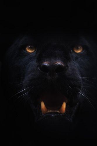 Panther eyes at night