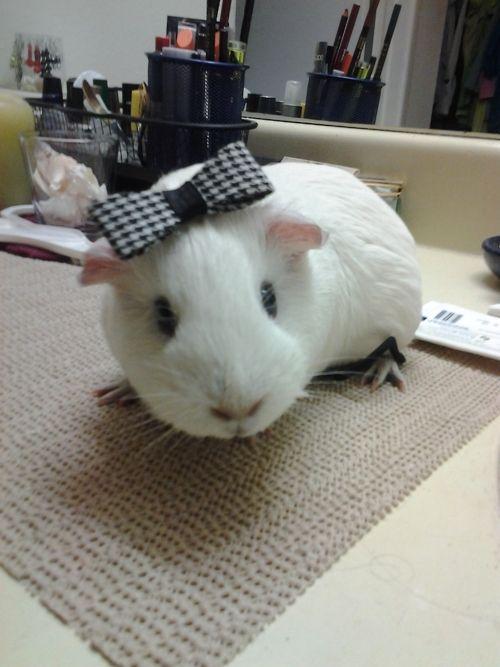 misstoriafashni: My buetyful baby guniea pig Cavia