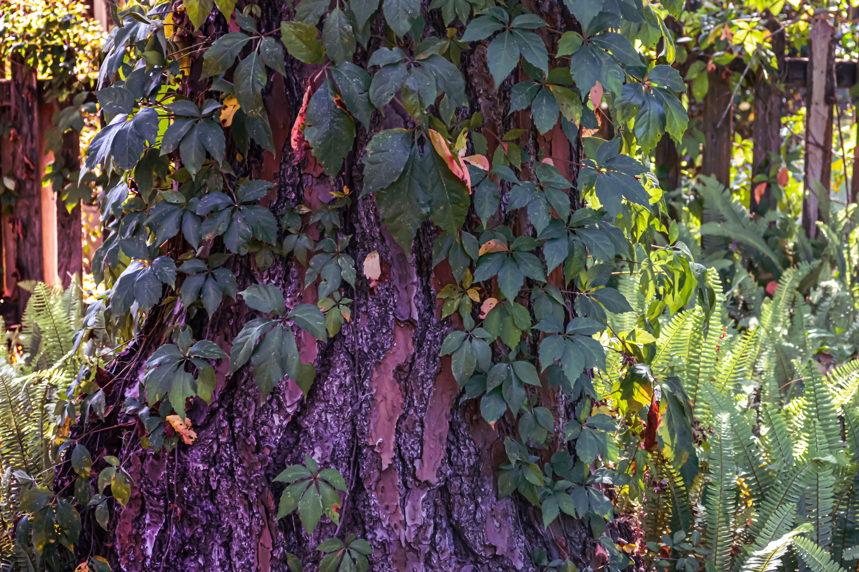 Ivy Vine Covered Sweetgum Tree Ivy Vine Nature Photography