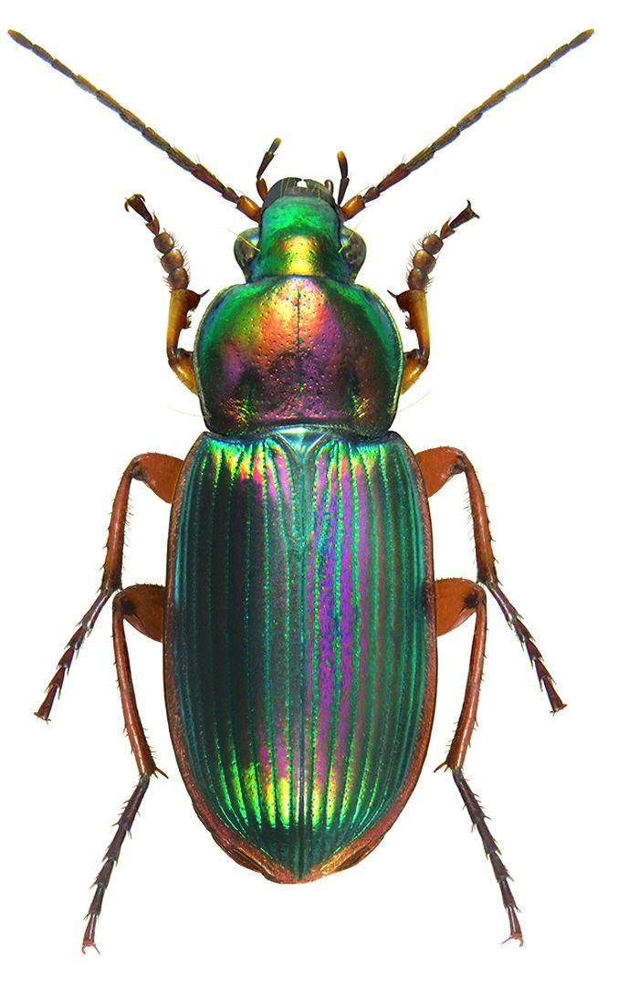 Chlaenius Rufomarginatus - CARABIDAE
