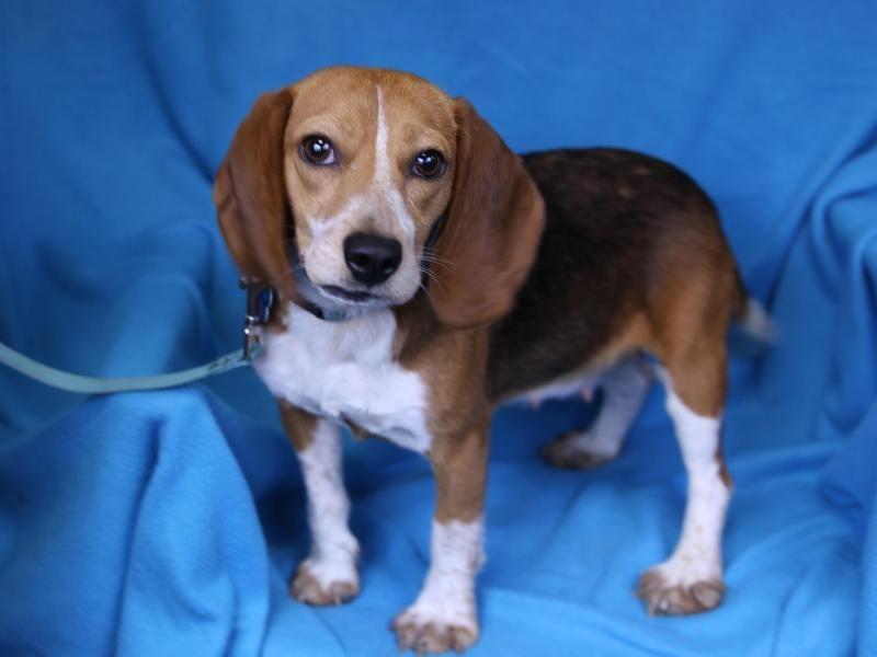 Adopt minnie on adoptable beagle dogs animal rescue