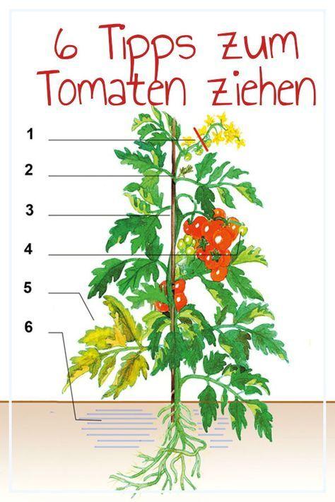 Tomaten anpflanzen   selbst.de