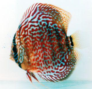 Red Lepard Discus, Mac's Discus, Discus Fish Breeder