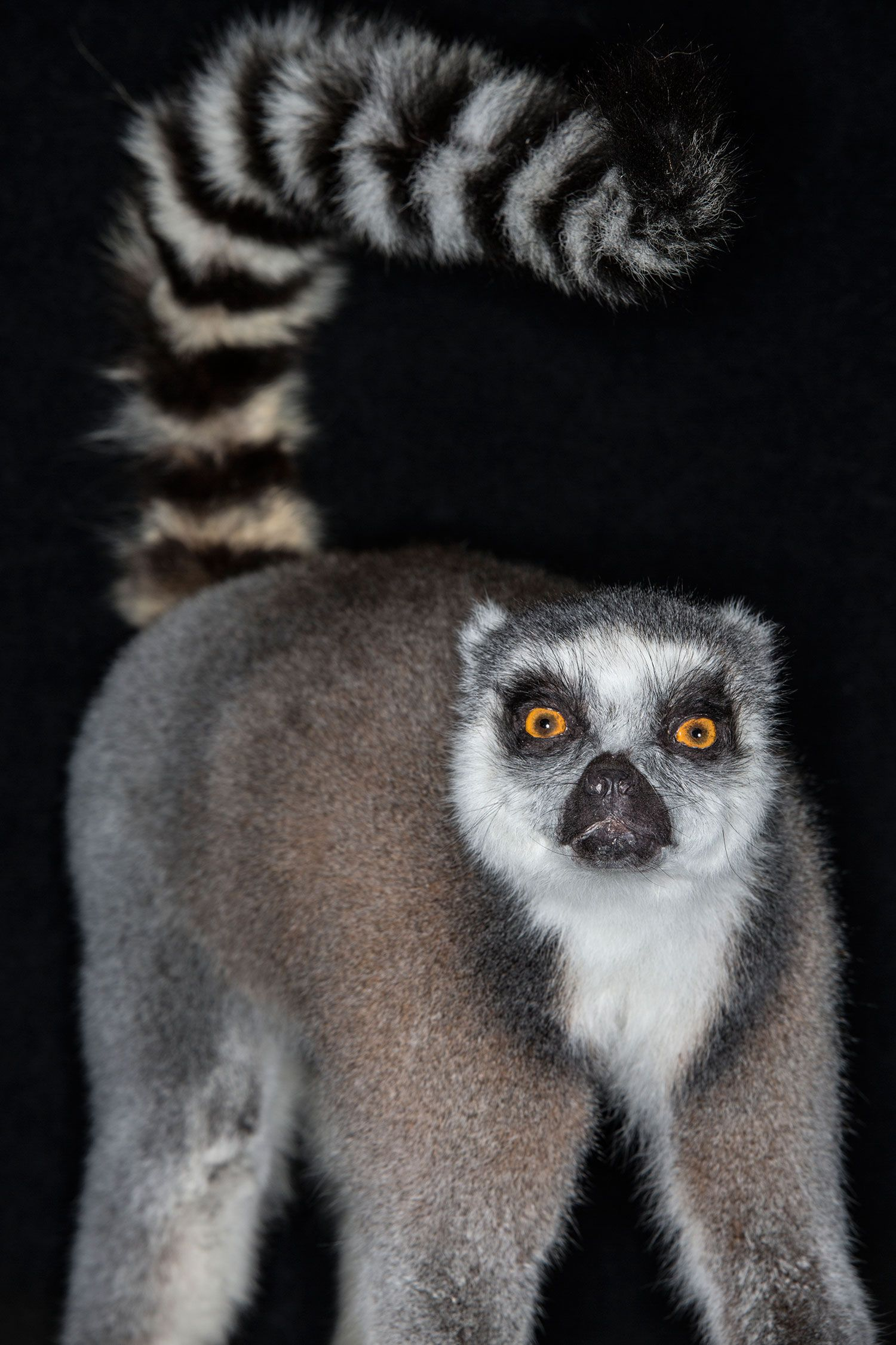 4c0a0cab0a5 Did you know lemurs are only found on the African island of Madagascar and  some tiny islands nearby